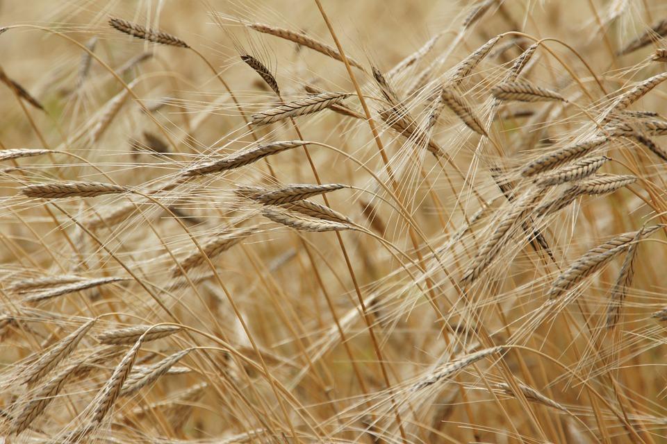 Cibo del Futuro, un campo di grano