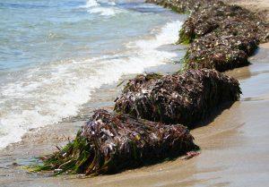 alghe South agro