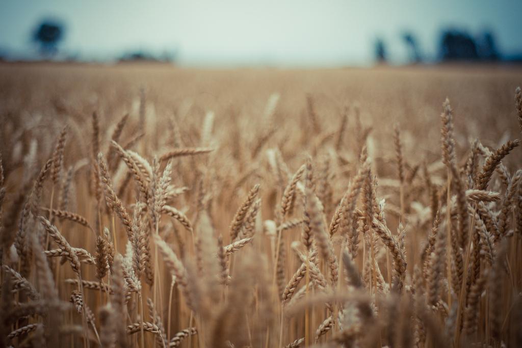 filiera grano pasta