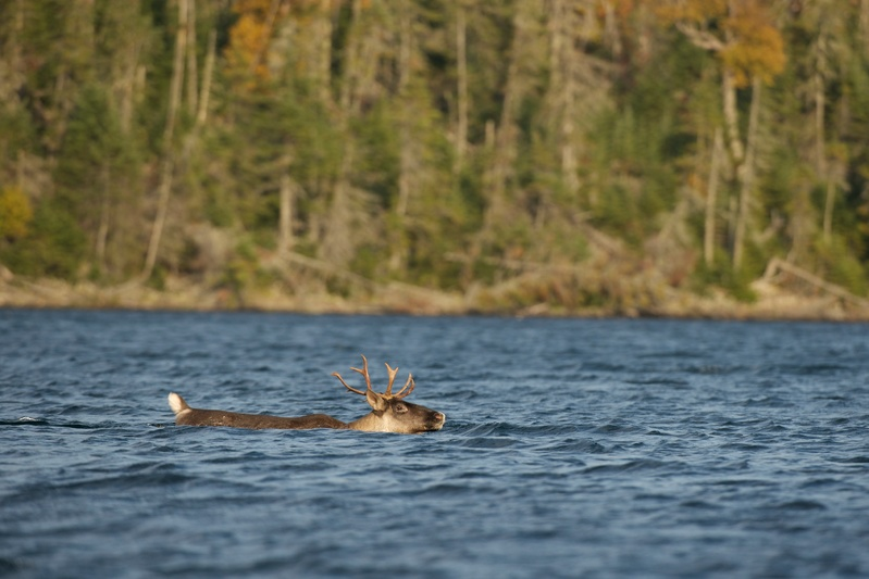 Greenpeace -Woodland caribou (Rangifer tarandus caribou) swims at Lake Superior, in Slate Islands