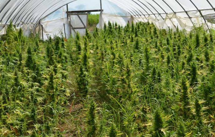 marijuana meadow l'amazon dell'oro verde