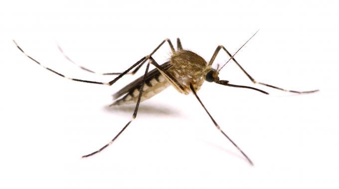 zanzara top 5 animali pericolosi