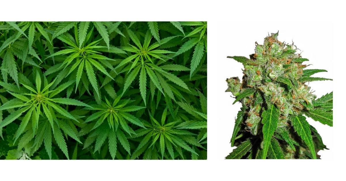 industria-cannabis-espansione-futuro
