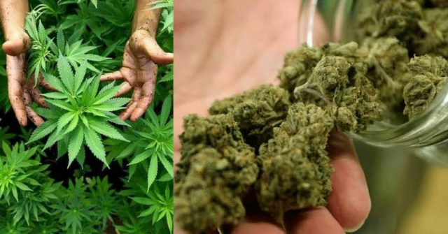 marijuana-legale-studi