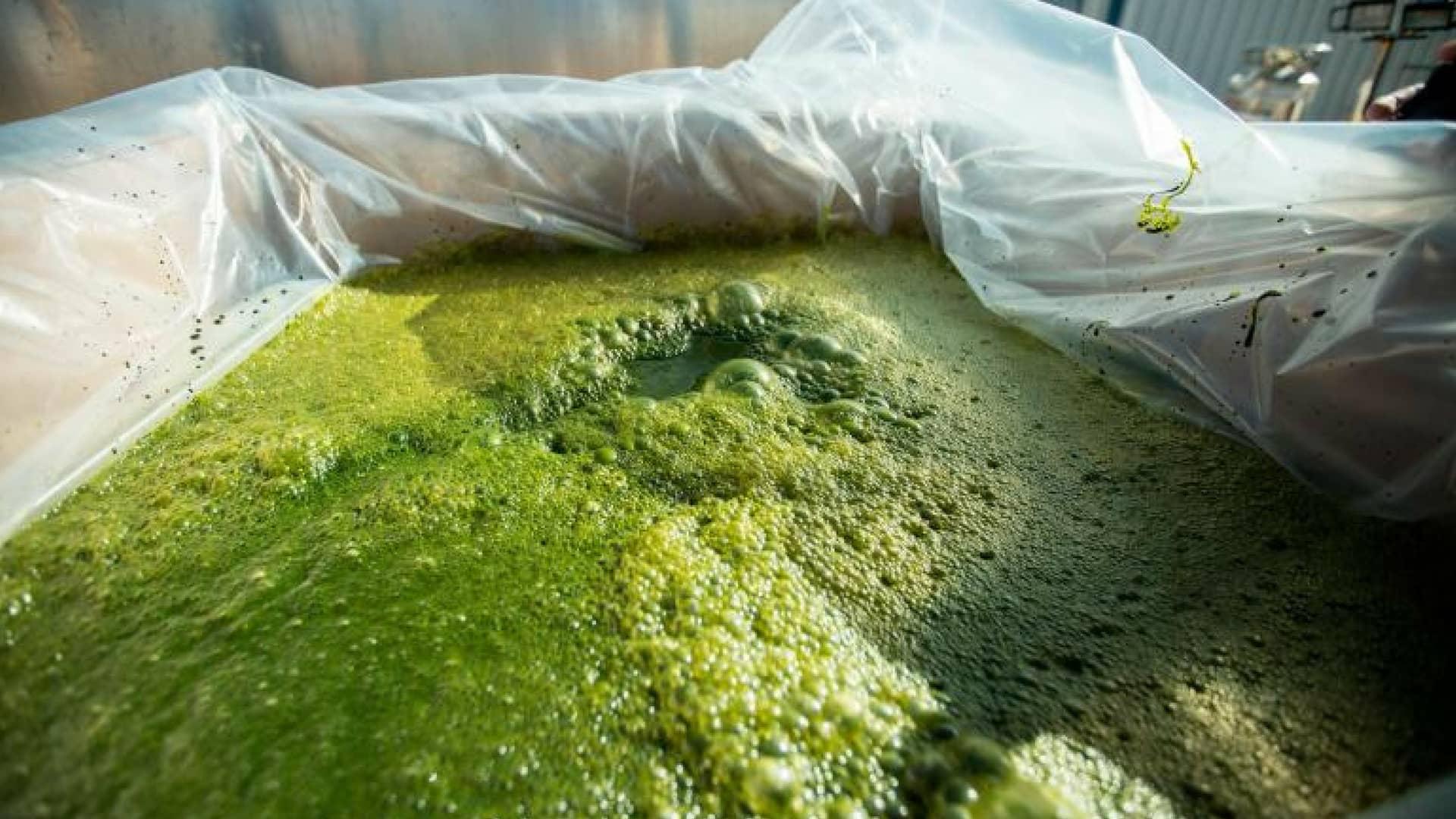 alghe-cibo-futuro
