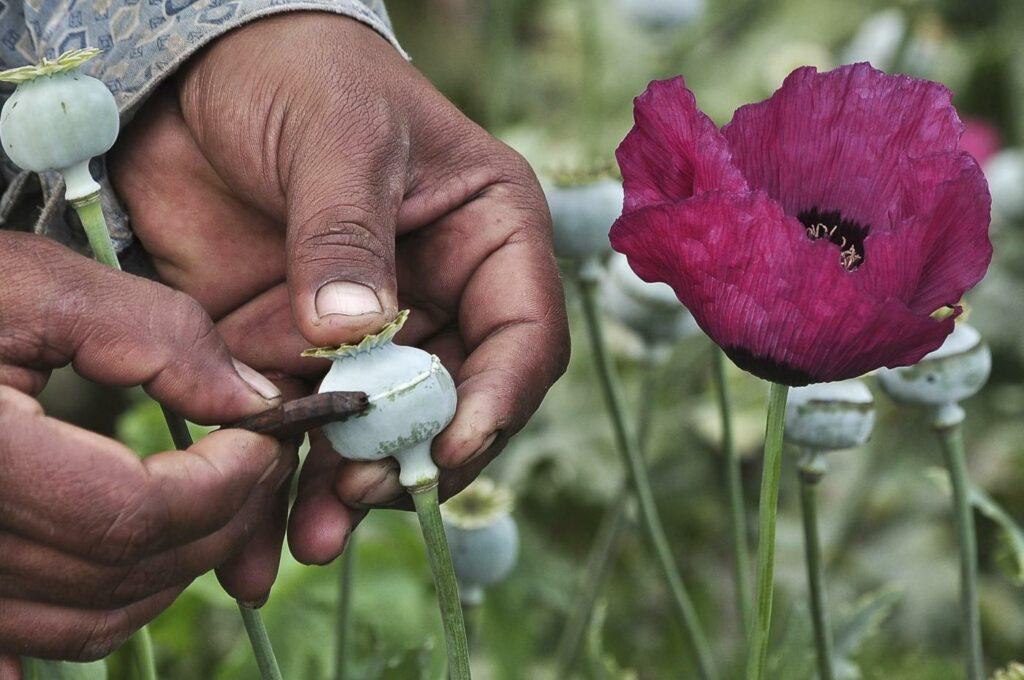 Il business miliardario dell'oppio in Afghanistan: tutti i numeri di un giro d'affari mostruoso